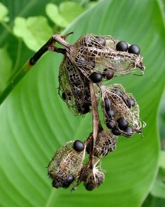 Seed pods are so much more beautiful and meaningful than flowers. They bear life and exemplify the raw nature from which we are born. We were all seeds once. Garden Seeds, Planting Seeds, Planting Flowers, Natural Structures, Natural Forms, Belle Plante, Fotografia Macro, Fruit Seeds, Nature Plants