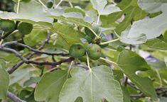 Nicht alle Feigenbäume bilden nach der Vermehrung Früchte aus