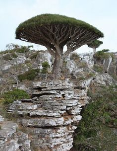 Dragon Blood Tree, Socotra, Yemen. Dracaena cinnabari, the Socotra dragon tree or dragon blood tree, is native to the Socotra archipelago in the Indian Ocean. It is so called due to the red sap that the trees produce. (V)