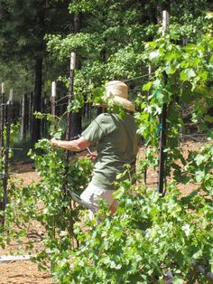 Penny is working hard pruning our small vineyard while I just enjoy taking pictures! http://www.napaandbordeaux.com/blog