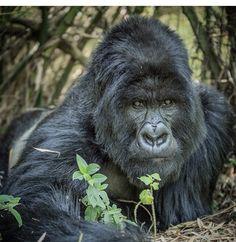Majestic Animals, Animals Beautiful, Gorillas In The Mist, Dian Fossey, Western Lowland Gorilla, Gorilla Tattoo, Monkey Pictures, Silverback Gorilla, Fotografia
