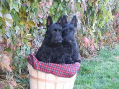 Our very first Scotties:  sisters Ruby & Isabella- both 8 years old now, time flies!