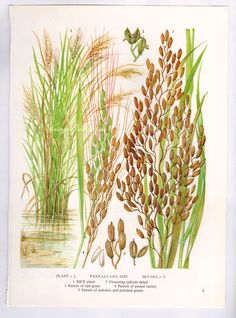 Rice Plant Cereal Grain Food Chart Botanical Lithograph Illustration For Your Vintage Kitchen 9 Vintage Botanical Prints, Botanical Art, Vintage Prints, Botanical Drawings, Garden Illustration, Botanical Illustration, Rice Plant, Vegetable Prints, Plant Tattoo
