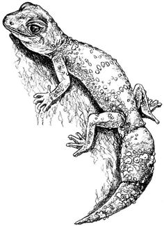 Gecko (thick-tailed) pencil drawing - animal art, wildlife art - nature print of original artwork - A5