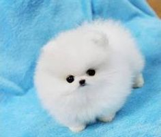 Check out this great site about Teacup pomeranian. http://www.pomskypuppies.us/teacup-pomeranian/