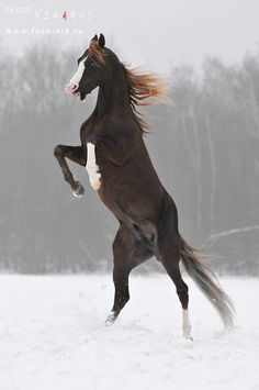Beautiful horse rearing in the snow. Caballos Marwari, Marwari Horses, Horse Rearing, Most Beautiful Animals, Beautiful Horses, Beautiful Creatures, Majestic Horse, Majestic Animals, Horse Pictures