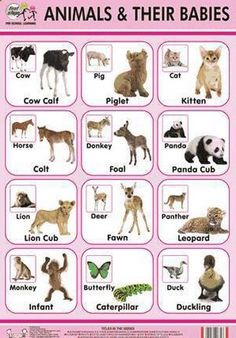 English vocabulary - Animals and their babies Learn or practise English with native English speakers on www.blabmate.comhttp://www.tradeindia.com/fp855313/Animal-Their-Babies-Chart.html