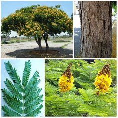 Sibipiruna (Caesalpinia peltophoroides) Tronco, folha e flor