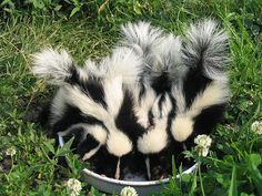 want a skunk for a pet (scent glands gone, of course)!i want a skunk for a pet (scent glands gone, of course)! Forest Creatures, Cute Creatures, Beautiful Creatures, Animals Beautiful, Cute Baby Animals, Animals And Pets, Funny Animals, Animal Babies, Nature Animals