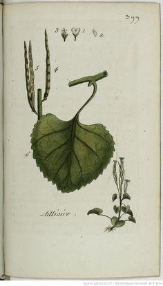 ERYSIMUM - Erysimum alliaria. L'alliaire / L'herbe aux ailles / L'herbe aux aux / L'herbe aux aillets