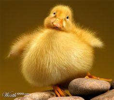 fat duck