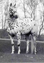 Sheldak Ranch - Foundation Appaloosa Stallions Bright Eyes Plaudit
