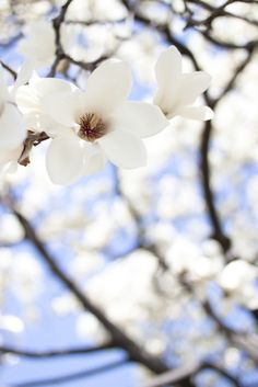 Magnolia by yocca on Flickr.