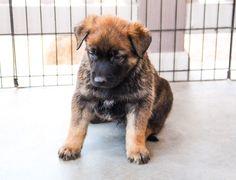 www.elitek-9.com/   #malinois #malinoisofinstagram #maligator #executiveprotectiondogs #exotics Executive Protection, Belgian Malinois, Working Dogs, Dog Training, Puppies, Cubs, Malinois Dog, Dog Training School, Pup