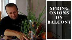 ☑️ Spring onions on balcony - Κρεμμυδάκια στο μπαλκόνι - How to Herbs, Onions, Spring, Gardening, Youtube, Plants, Balcony, Lawn And Garden, Herb