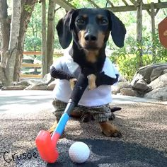 "15.4k Likes, 275 Comments - Crusoe the Celebrity Dachshund (@crusoe_dachshund) on Instagram: """"Oakley and I played a little round of #minigolf last week in the Smokies! "" ~ Crusoe  Tag a…"""