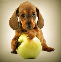 a dachshund about the size of an apple.my dachshund would be EATING the apple. Dachshund Funny, Dachshund Love, Daschund, Dachshund Puppies, Cute Puppies, Cute Dogs, Dogs And Puppies, Awesome Dogs, Baby Dogs