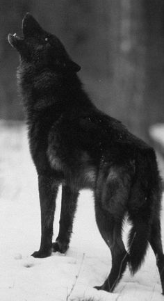 Wolves develop close relationships and strong social bonds. They often demonstrate deep affection for their family and may even sacrifice themselves to protect the family unit