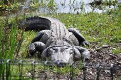 Get all the information about diet, habitat and reproduction of the American Alligator. Come by and see this huge alligator today! Reptile Park, Alligators, Reptiles, Habitats, Turtle, Elephant, Australia, American, Animals