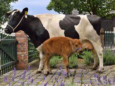Tierpark #Nordhorn: Das schwarzbunte Niederungsrind Jolanda kümmert sich seit ein paar Tagen aufopferungsvoll um sein #Adoptivkind, ein kleines Bisonkälbchen. (Foto: Franz Frieling)   www.noz.de/65481579 #Bison #cute #cow