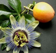 Passion Fruit (English), Poch'il (Maya) Maracuya (Spanish), Passiflora edulis, Passifloraceae Family. Passion fruit is a self pollinating vine that grows climbing with tendrils. Passion fruit vines' flowers are very exotic and aromatic, filled with nectar, excellent butterfly and bee attractants. Fruits ripe in May and June; its pulp is used extensively in fruit juice drinks or in baked desserts. Its aromatic. At Hacienda Chichen the Passion Fruit vine grows yellow fruits.
