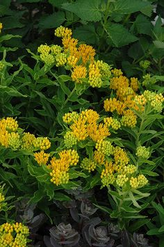 Click to view full-size photo of Hello Yellow Milkweed (Asclepias tuberosa 'Hello Yellow') at Woldhuis Farms Sunrise Greenhouses