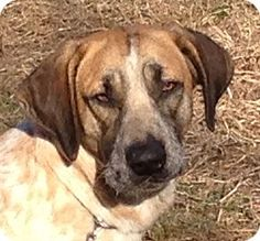 Hagerstown, MD - Redtick Coonhound Mix. Meet Cisco, a dog for adoption. http://www.adoptapet.com/pet/15336021-hagerstown-maryland-redtick-coonhound-mix