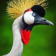 What a stunning photo of #Uganda 's national bird, the #CrownedCrane by Uri Golman.   For trip to Uganda check our website www.wildfrontiers.com   #Uganda #Africa #Bird #Crane #CloseUp #Beauty #Nature #Safari #Birdwatching #wildfrontiers Birdwatching, Uganda, Crane, Safari, Africa, Photo And Video, Website, Nature, Check