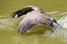 Attacke. Kanadagans im Angriffsmodus.   Attack. Canada goose in offensive mode.    www.ingogerlach.com Canada Goose, Animals, Advertising Photography, Product Photography, Landscape, Animales, Animaux, Animais, Animal