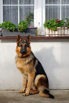 Wicked Training Your German Shepherd Dog Ideas. Mind Blowing Training Your German Shepherd Dog Ideas. Types Of German Shepherd, German Sheperd Dogs, Shepherd Dogs, Baby German Shepherds, Beautiful Dogs, Animals Beautiful, Cute Animals, Schaefer, Cute Dogs And Puppies