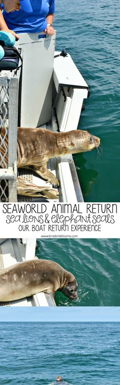 As the SeaWorld guest kid blogger, my daughter has had great learning opportunities. Our boat return experience on a SeaWorld animal return with sea lions and elephant seals was remarkable.