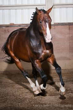 Dutch Warmblood stallion Versache
