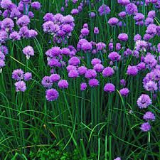chives - Google Search
