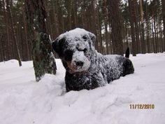 #Rottweiler loving the snow