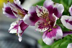 Альстромерия: 10 тыс изображений найдено в Яндекс.Картинках Lily Bouquet, Bouquets, Peruvian Lilies, Floral Vintage, Plumeria Flowers, Delicate, Plants, Image, Color