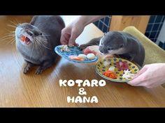 (26) カワウソコタローとハナ 贅沢な朝ごはんいただきます! Otter Kotaro&Hana Lovely Breakfast - YouTube Otters, Hana, Animal Species, Animal Kingdom, Seafood, Pets, Breakfast, Laughing Squid, Animals