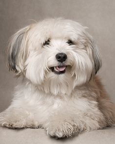 Adorable Havanese Puppie I have a sweet Smile says my Mum . Adorable Havanese Puppie I have a sweet Smile says my Mum . Havanese Grooming, Havanese Puppies, Cute Puppies, Dogs And Puppies, Havanese Haircuts, Maltipoo, Dog Grooming, Beautiful Dogs, Animals Beautiful