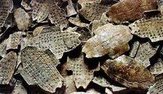 Goods from India - Tortoiseshells