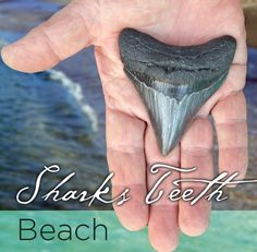 Enjoy the Thrill of Discovering Shark Teeth . _ PLEASE LIKE IT BEFORE YOU REPIN IT !  . _ Sponsored by #InternationalTravelReviews #RickStonekingSr - #Twitter @ IntlReviews - https://www.linkedin.com/in/internationaltravelreviews