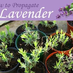 for Free - How to Propagate Lavender Grow dozens of new lavender plants from cuttings taken from a single shrub.Grow dozens of new lavender plants from cuttings taken from a single shrub. Diy Horta, Vegetable Garden, Garden Plants, Organic Gardening, Gardening Tips, How To Propagate Lavender, Growing Herbs, Plantation, Herb Garden