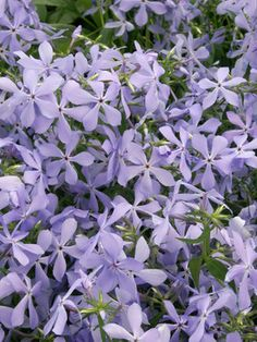 "Phlox Clouds of Perfume $9.95 12"" tall Intensely fragrant sky-blue flowers in the spring. Plant around the Sitting Rock?"