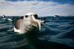 Big Picture winner is Craig Nash of Strangford, County Down, for this photograph of an inquisitive albatross off South Island, New Zealand. Call Of The Wild, Photography Competitions, Sea Birds, Big Picture, Birds In Flight, Travel Photography, Wildlife, Creatures, Nature