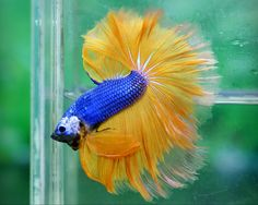 Blue and yellow male Betta Fish