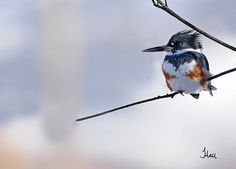 Winter Belted Kingfisher - 8201b+