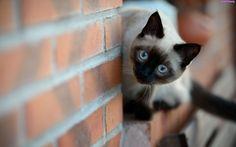 Niebieskie, Oczy, Mur, Ceglany, Kot