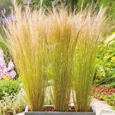 """Ornamental grasses in a pot for patios and balconies - The high growing feather grass """"wind chime"""" offers optimal privacy - Herb Garden Design, Backyard Garden Design, Small Garden Design, Garden Pots, Easy Garden, Amazing Gardens, Beautiful Gardens, Stipa, Pot Jardin"""