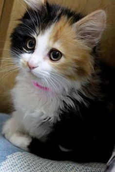 """Calico cat - to be called """"calico"""", three colors must be present: black, white and orange. Variations of these colors include gray, cream and ginger."""