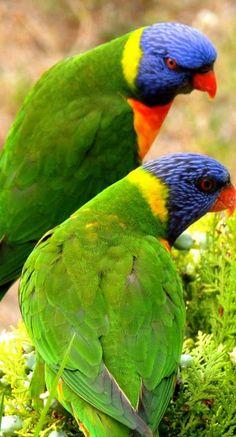 diferentes especies hermosas Rainbow Lorikeets