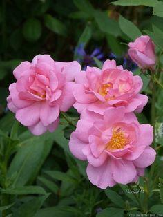 'Cariad' | David Austin English Rose. Austin, 2010