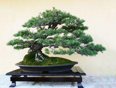 Pinus Sylvestris Scots Pine Outdoor Bonsai Tree 30 Seeds Shohin Suitable | eBay